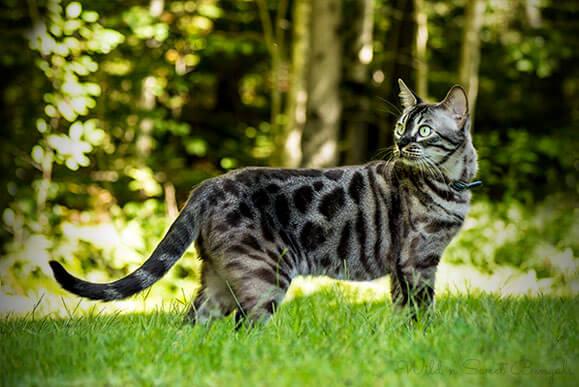 Snow charcoal bengal cat